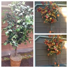 Ficus tree turned in to a Fall Tree for the Harvest Festival 2012