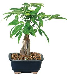 trees desk 25 Office Plants That Fit on Your Desk 25 Office Desk Plants - Money Bonsai Tree Indoor Bonsai, Best Indoor Plants, Outdoor Plants, Outdoor Gardens, Indoor Herbs, Money Tree Bonsai, Money Trees, Bonsai Trees, Garden Bulbs