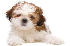 The Cavanese is a cross between a purebred Cavalier King Charles Spaniel and Havanese.