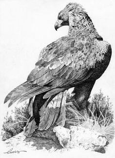 Otro dibujo rescatado de la carpeta de los recuerdos. Águila real (Aquila chrysaetos) tinta china a plumilla.