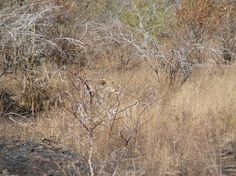 A well camouflaged Lion. photo; Virality Facts