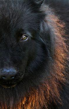 Black wolf                                                                                                                                                      More