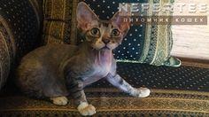 Голубой тигровый девон рекс в белых носочках🐱#девонрекс #котята #кошки Больше фото по ссылке
