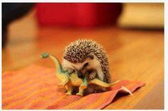 A hedgehog chews on his toy dinosaur...