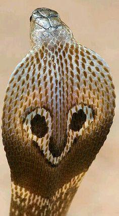 Naja naja - Spectacled Cobra Spiders And Snakes, Poisonous Snakes, Adder Snake, Indian Cobra, Snake Facts, King Cobra Snake, Cobra Tattoo, Snake Photos, Animals