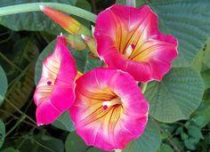 Fazenda Citra - Ipomeia Africana (Stictocardia macalusoi (Mattei) Verdc.) Fam. Convolvulaceae