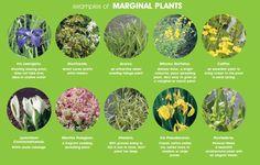 marginal-pond-plant-example
