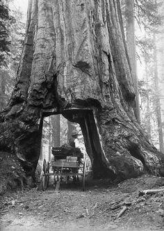 Yosemite Sequoia by Carleton E Watkins
