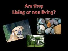 Use this powerpoint to introduce features of living things. The slides have a particular thing on it where the children need to decide if it is living or non living. They are used as a discussion point and can have labels added. Compliments my other living things resources beautifully.