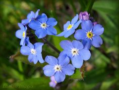 ~ forget-me-not ...i want to plant some of these this summer...i love them! :) not to mention they are the state flower! :)