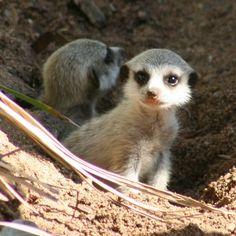 Meerkat Pups Emerge From the Den at Taronga Zoo