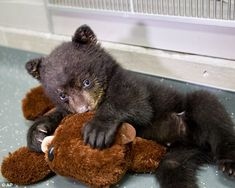 black bear cub with a bear stuffed animal. This black bear cub with a bear stuffed animal.This black bear cub with a bear stuffed animal. Baby Animals Pictures, Cute Baby Animals, Animal Babies, Wild Animals, Baby Pandas, Giant Pandas, Bear Pictures, Farm Animals, Funny Animals