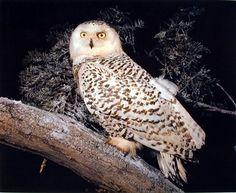 Snow Owl Nature Animal Wildlife Wall Decor Art Print Post... https://www.amazon.com/dp/B009YELEF8/ref=cm_sw_r_pi_dp_x_4SF.xbNF6HAZK