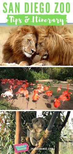 Planning a San Diego vacation? Be sure to save these tips for visiting the world famous San Diego Zoo! This guide includes the best animal attractions, places to eat and itinerary for a day at the San Diego Zoo with kids or without. San Diego Vacation, San Diego Travel, San Diego Beach, San Diego Zoo, Family Vacation Destinations, Best Vacations, Vacation Spots, Vacation Ideas, Travel Destinations