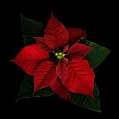 POINSETTIA...THE COLOURS of THE SEASON by Magda Indigo on 500px
