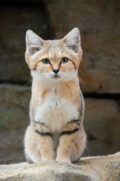e93b7c50c The sand cat is the only cat breed that spends its life primarily in the  desert.  CatBreeds