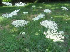 Posted: Queen Anne's Lace It's dainty as lace and pretty enough to deck a queen. In late July and August, Queen Anne's Lace is seen along roadsides, embankments, in fields and in ot. Wild Flowers, Meadow Garden, Planting Flowers, Plants, Garden, Rare Seeds, Gardening Blog, Outdoor Gardens, Wildflower Seeds