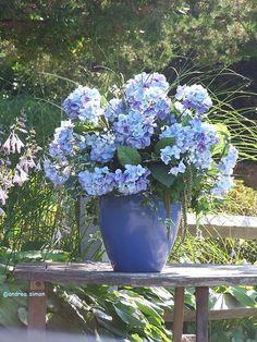 Hortensie ♥ hortensie ♥ Hydrangea ♥