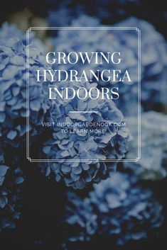 Hydrangea Indoors - Fertilizing, Watering, Pruning, Propagating, and Drying Hydrangea Care, Pink Hydrangea, Indoor Flowers, Flower Planters, Indoor Garden, Indoor Plants, Propagating Hydrangeas, Garden Nook, Spring Hill Nursery