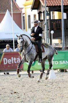 Grey Lusitano stallion Trinco in Portugal - working equitation