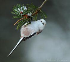 norske fugler - Google-søk