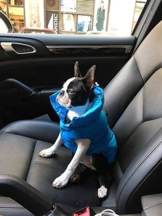 Hi! It's Marley the Boston Terrier dog, in his winter suit