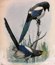 european magpie perched - drawing