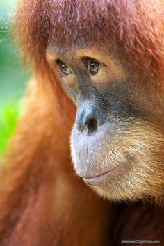 Portrait of an orangutan.