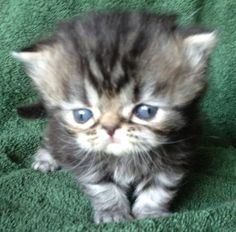"""Mini Grumpy Cat?"" I think so. :D"