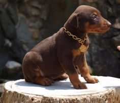 Cachorro Doberman rojo