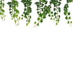 Hanging Vines Png by Moonglowlilly on deviantART