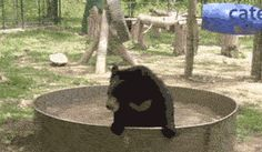 Bears Love Playing In Water ~ He's having so much fun that he tires himself out at the end.