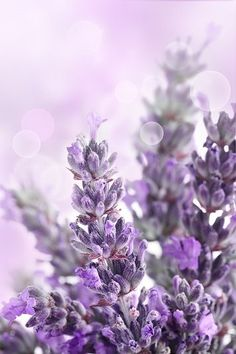 There are many ways to use lavender: stress relief, bug bites just to name… - coffin #nails #nailscoffin #coffinnails