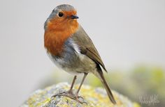 """Acquerello CARDELLINO giardino uccellino in 10/"""" x 8/"""" Mount"""
