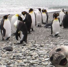 Crasher Seal Photobombs Group Of Penguins