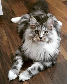 http://www.mainecoonguide.com/where-to-find-free-maine-coon-kittens/