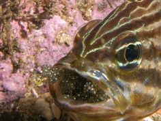 Photo: Fish with mouthfull of eggs isn't what you think