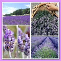 LAVENDER IS A MEMBER OF THE MINT FAMILY. Essential Oil of Lavender is one of the safest and most widely used oils in aromatherapy.  It is a wonderful oil for people who suffer from depression and it calms a variety of nervous disorders including excitability and nervous tension. Essential oil of lavender has antiseptic and anti-inflammatory properties. It was used in hospitals during WWI to disinfect floors and walls! Infusions of lavender heal insect bites and bunches of lavender repel…