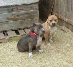 blue pitbull puppies tulsa