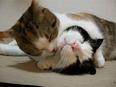 """Desgarga gratis los mejores gifs animados de amor y gatitos. Imágenes animadas de amor y gatitos y más gifs animados como gracias, ángeles, animales o nombres"""""""