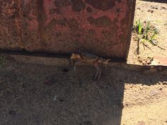 Photo taken in a dry dam on a farm near a small town Warden in the Freestate South Africa. A very dry year but not long after this photo was taken from this crab rains came down and the dam was full.
