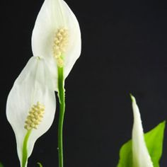 Peace lily - Healthiest Plants for Your Home - Health Mobile