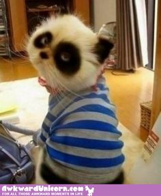 Funny pictures about Panda cats are better than regular cats. Oh, and cool pics about Panda cats are better than regular cats. Also, Panda cats are better than regular cats. Animals And Pets, Baby Animals, Funny Animals, Cute Animals, Wild Animals, Baby Pandas, Cute Cats, Funny Cats, Funny Humor