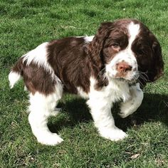 """Awesome """"spaniel dogs"""" info is offered on our web pages. Check it out and you wont be sorry you did. Cute Puppy Breeds, Cute Puppies, Dog Breeds, Cute Dogs, Dogs And Puppies, Doggies, Corgi Puppies, Perro Cocker Spaniel, English Cocker Spaniel"""