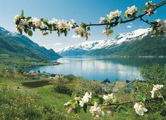 Fruit blossom in Lofthus, Hardanger, Norway. Folgefonna glacier in the background. Photo by Per Eide/Innovation Norway