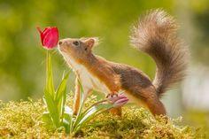 tulip smell