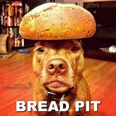 Pit Bull Humor!  Bread Pit = Brad Pitt - funny dog pictures