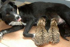 This dog at a Chinese zoo is acting as a wet nurse for these tiger cubs. Their real mother is too weak to produce milk.