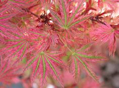 Tree, shrub for mostly sun, mostly shade in zone Up to 6 x 6 feet Also known as Abigail Rose Dwarf Japanese Maple. Details on Acer palmatum 'Abigail Rose' at plantlu Fairy Garden Plants, Garden Shrubs, Bonsai Garden, Garden Trees, Shade Garden, Backyard Trees, Garden Art, Japanese Maple Varieties, Dwarf Japanese Maple