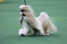 Rocket, the Shih Tzu - wins Toy Category at Westminster